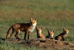 Vulpes vulpes (red fox) Physical Description 1) Pelage variable,