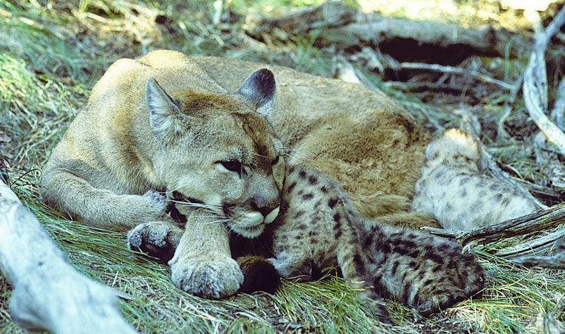 pelage in adults, spotted cubs Natural history -