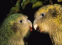 Why did the kakapo almost become extinct? When Maori people arrived in New Zealand about 1000 years ago, the kakapo was an easily hunted because it was asleep during the day.