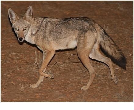 6 Jackal (Canis aureus) 3. Reptiles Most reptiles live more than other animals in a dried environment. Their bodies are covered with corneas or corneal plates to resist drought.