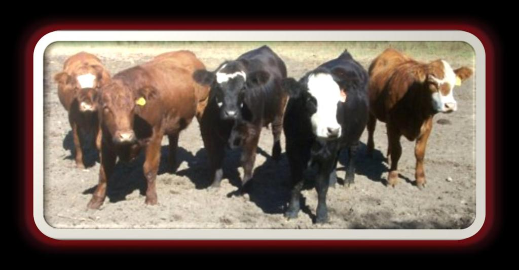 Performance of spayed, implanted heifers would be similar to intact, implanted heifers