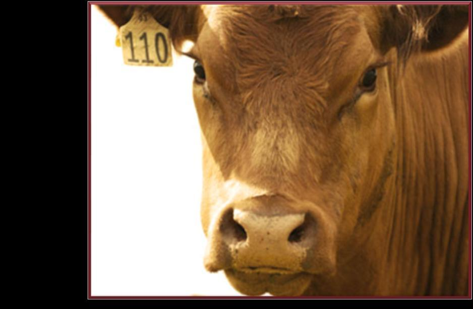 30% feedlot cattle are heifers Criticisms of feeding heifers exist Don t let them deter