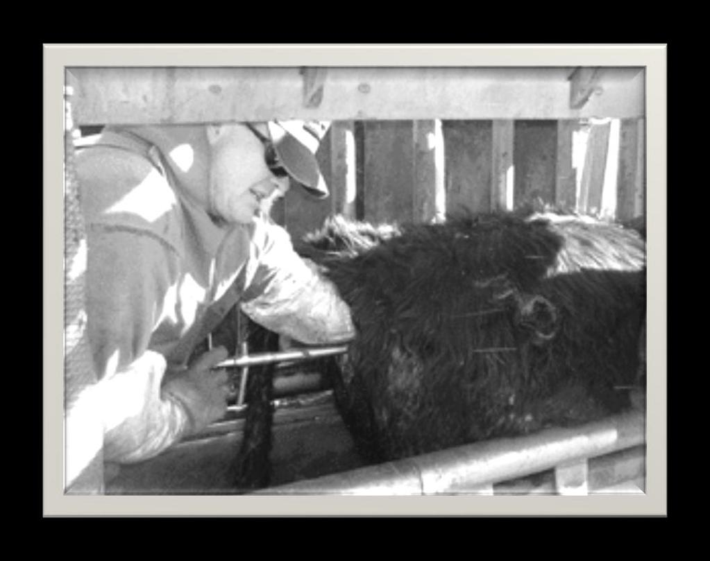 Heifer spaying Surgical removal