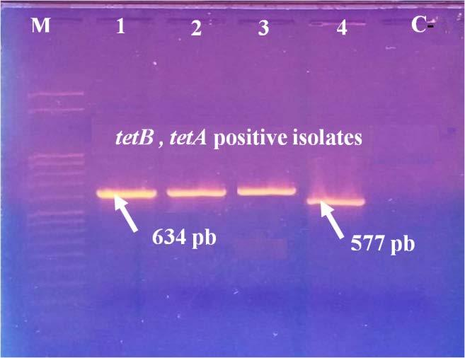 1, 2, 3: aac[3]-iv positive isolates (286 bp); Figure 6: Line 1, 2, 3: Strains tetb positive isolates (634 bp) ; Line 4: teta positive isolates (577 bp); Figure 7: Line 1, 2, 3: cmla positive