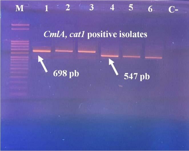 American Journal of Microbiological Research 128 Figure 7. Electrophoretic profile of the amplification product of tetracycline resistance gene (cmla, cat1) 4. Discussion In this study, 70.2% of E.