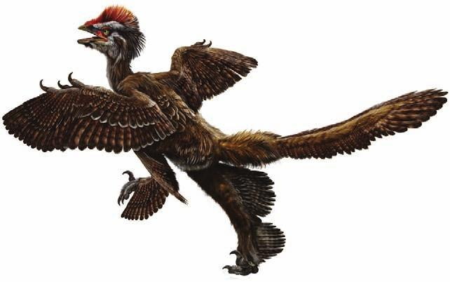 Also the appearance of long pennaceous feathers on the hind legs of this small theropod further supports the hypothesis that in their transition to birds, dinosaurs might have experienced a
