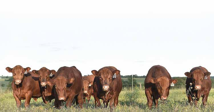 PROPER MANAGEMENT OF YEARLING BULLS INTRODUCTION Yearling bulls represent a large commitment to beef operations.