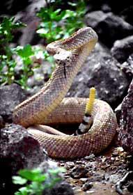 The venom of these snakes is considered poisonous because it destroys what type of body tissue? 49.