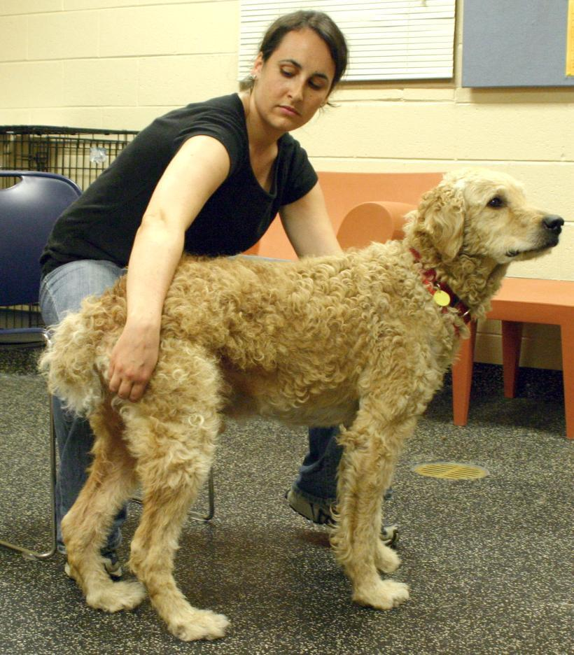 Assessment Item #4: Squeeze Flank Option: If dog does not allow you to pickup/touch leg or paw, or is highly reactive on the first