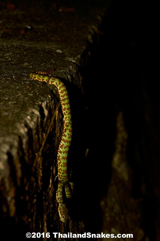 The Brown-spotted Pit Viper, aka The Beautiful Pit Viper hanging over a culvert edge waiting to ambush prey.