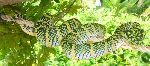 the T. venustus Beautiful pit viper. Kanburi Pit kanburiensis) Viper ( Trimeresurus Very rare and found only in and next to the Kanburi province of Thailand.