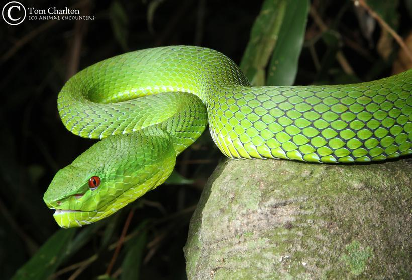 Female Pope s Pit Viper. Copyright Tom Charlton. Photo used with permission. Wirot s Palm Viper Sorry, no image could be found.