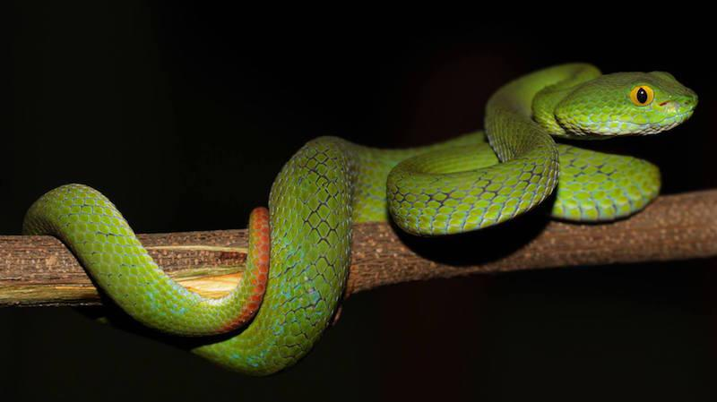 viper. Green pit vipers in Thailand are quite difficult to tell apart from each other. Be careful with all of them. Large-eyed Pit Viper (Trimeresurus macrops) by David Frohlich.