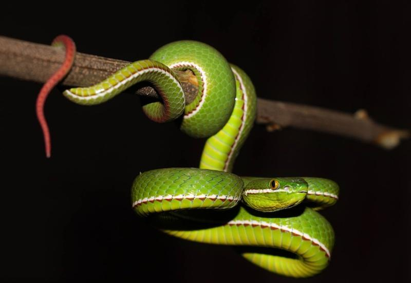 A male White-lipped Pit Viper photo by David Frohlich.
