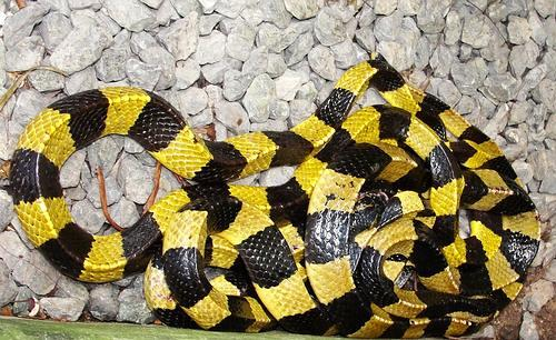 Banded kraits can be yellow and black or white and black.