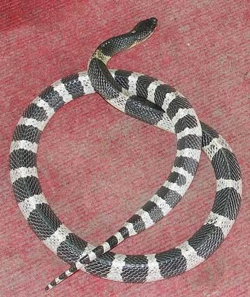 Malayan Kraits come in black and white and have thick bands of alternating white and black. This one is flattening itself to appear larger.