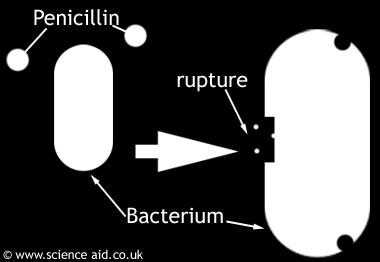 In most Gram-positive bacteria, penicillin interferes with the synthesis and
