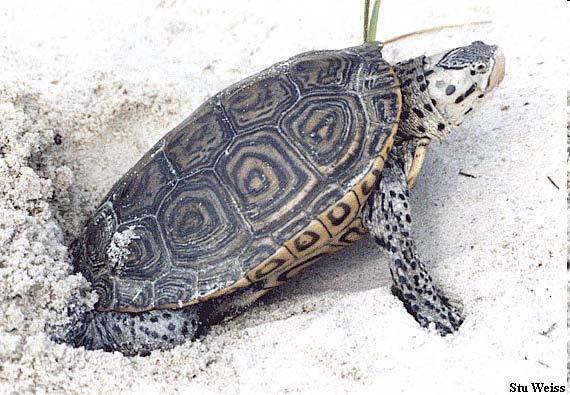 Malaclemys terrapin Only brackish water turtle Large ranges Once hunted almost