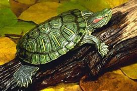 Trachemys scripta elegans Exotic in FL Nickle turtle sold in Five- &-Dime stores Introduced to every continent