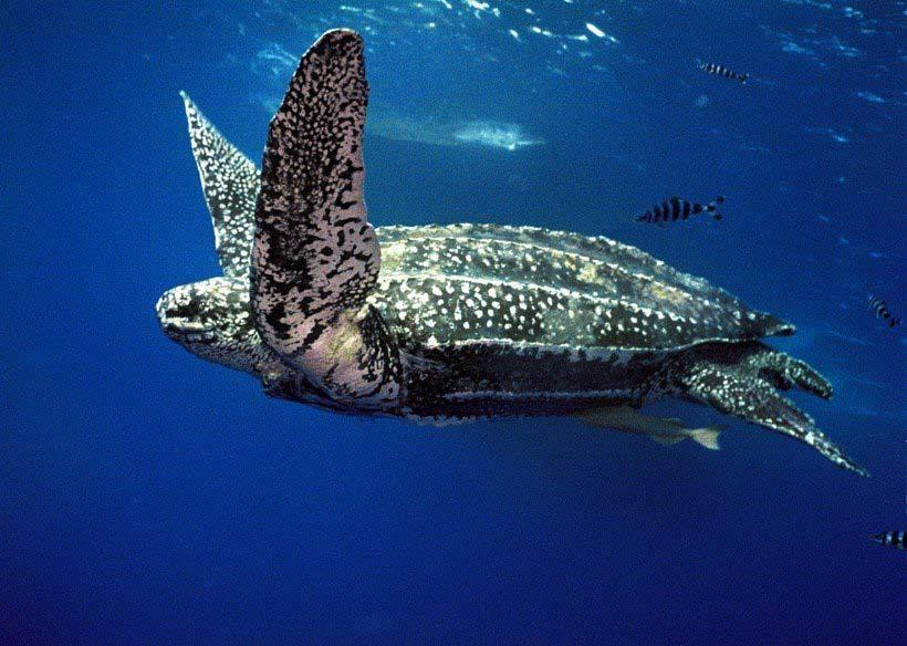 Dermochelys coriacea Largest of all living turtles (and reptiles) 7 longitudinal ridges on