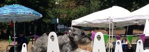 Volume 4 Edition 2014 Page 3 THE SPORT OF FLY BALL Standard Schnauzers loves the Race Fly ball is virtually the only dog sport which requires multiple people and dogs to perform together as a single