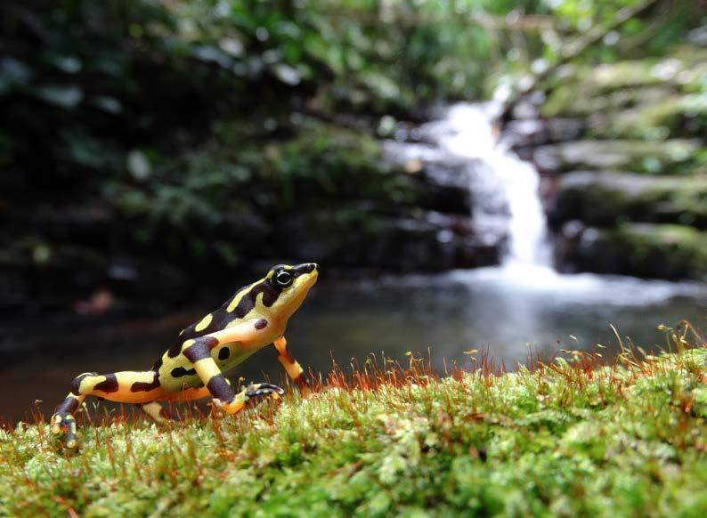 Observations of the Natural Habitat The stream where this population of Atelopus varius was found is located within a private reserve where no one is allowed to enter without permission.