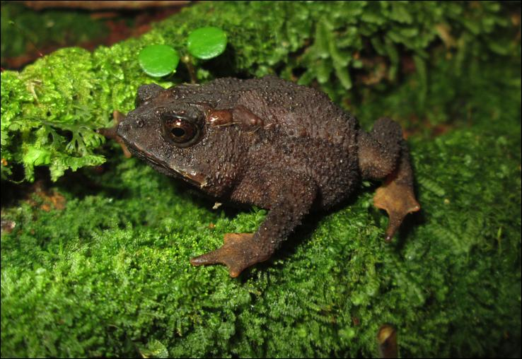 Other Contributions Thanatosis in four poorly known toads of the genus Incilius (Amphibia: Anura) from the highlands of Costa Rica Anurans are known to use myriad defensive strategies to avoid and