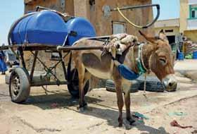 In Mauritania s capital, Nouakchott, 50,000 donkeys deliver fresh water daily to the city s one million people, providing the only source of drinking water for most of its population.