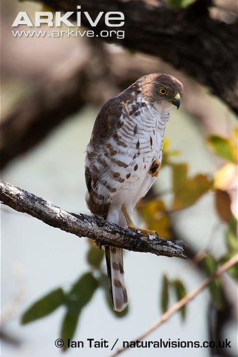 3 Description This species is second only to the Pygmy Falcon in being the smallest Southern African bird of prey, measuring 23 to 25 cm [9 ½ in] from beak tip to tail if laid down flat.