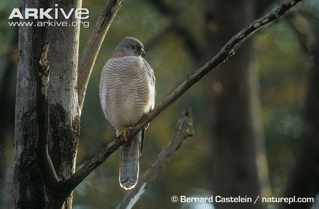 6 Little Banded Goshawk - Accipiter badius Vital Statistics Wingspan Weight Preferred prey Incubation period Clutch size Status Nesting site Nestling period Hunting success