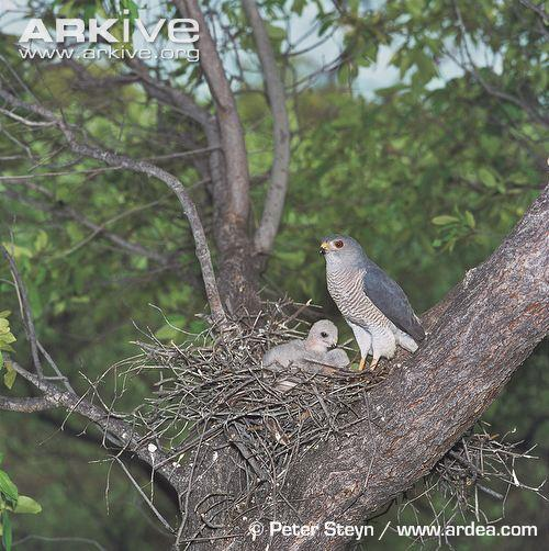 8 Courtship and Reproduction Courtship between Little Banded Goshawks consists of a variety of flight displays.