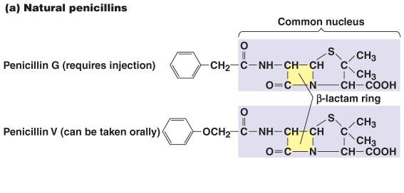 8 Penicillins Natural Produced by Penicillium Penicillin G (injected) and V most