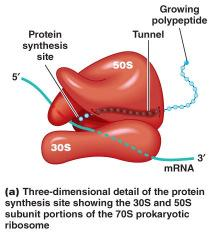 Inhibitors of protein synthesis cont.