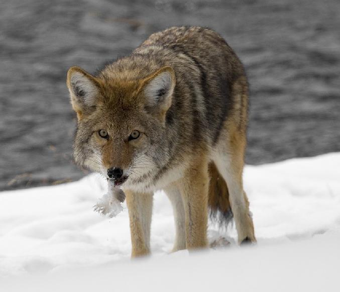 Coyote Canis latrans Other common names Eastern Coyote Introduction Coyotes are the largest wild canine with breeding populations in New York State.