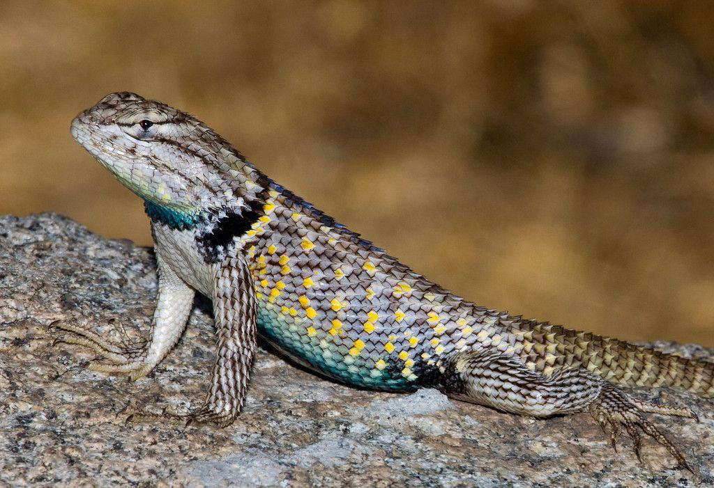 Station 17: 1.) Identify the genus of this lizard. ( 1 pt.) 2.) Is this specimen likely male or female? ( 1 pt.) 3.) What feature led you to your conclusion in question #2?