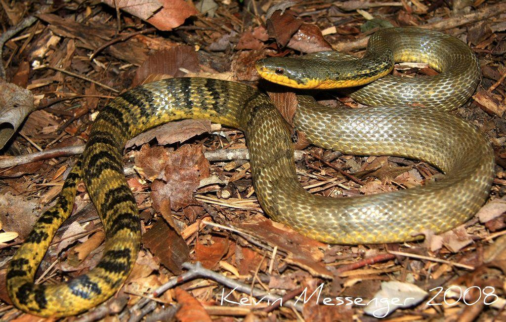 ) Analysis of scent in most snakes is done through flicking of the tongue. This scent is relayed to what organ?