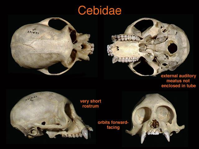 Family Cebidae (6 genera, 56 sp.) Genera to know: Callithrix, Cebus, Saimiri New World monkeys. Diets vary.