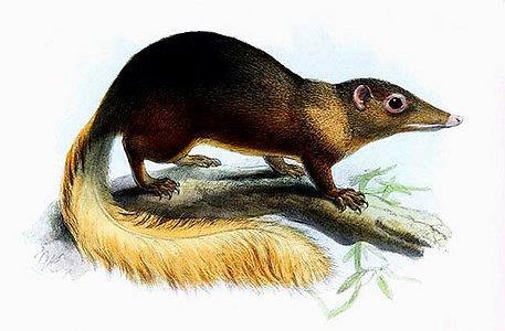 Family Tupaiidae: tree shrews (5