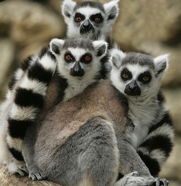 Family Lemuridae (5 genera, 9 species) Genus to know: Lemur Occur in forested habitats in Madagascar and