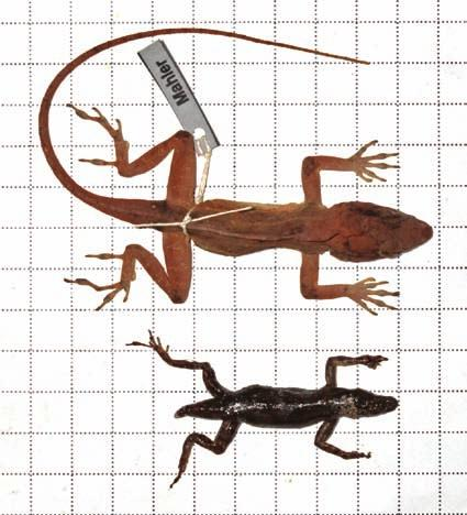 Natural History Notes 273 Fig. 2. Male Anolis cybotes cybotes (top) and female A.