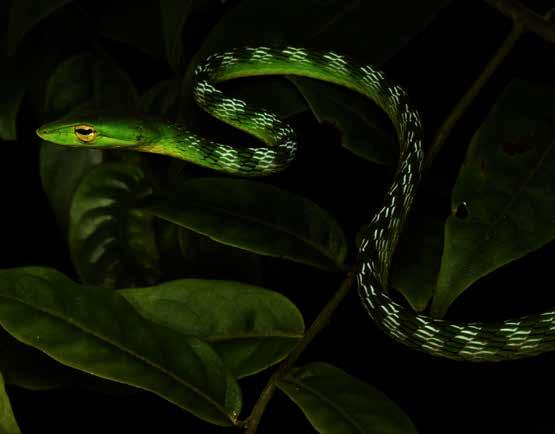 ZOOLOGY Reptiles Indraneil Das, Yong Min Pui, Adi Shabrani, Benjamin R. Karin and Hans Breuer A total of 86 species of reptiles are now known from Gunung Penrissen.