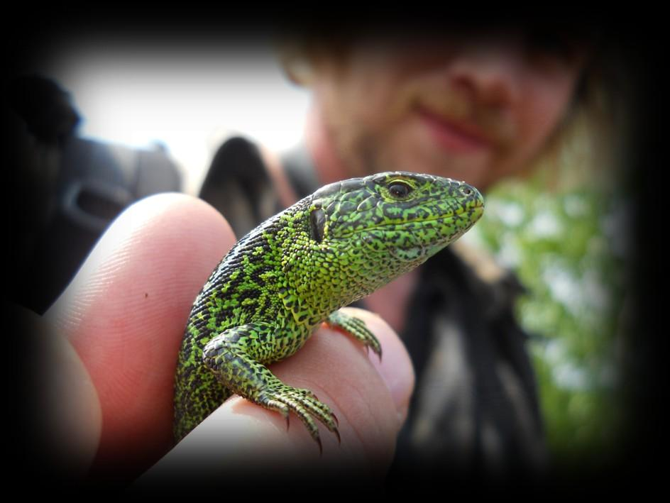 Care & preservation of Surrey s native amphibians and reptiles Reptile