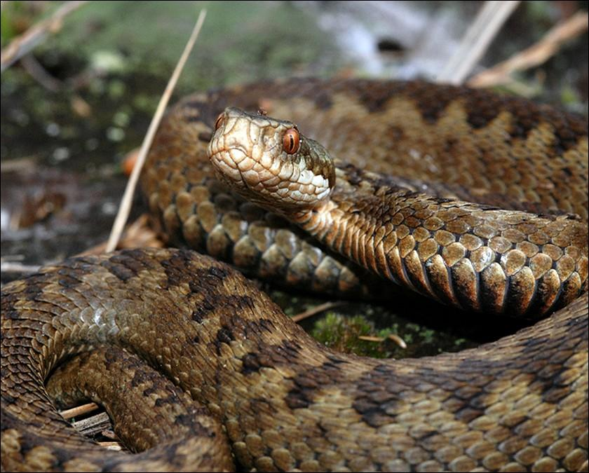 largest of Britain s reptiles and can reach over 1 metre in length.