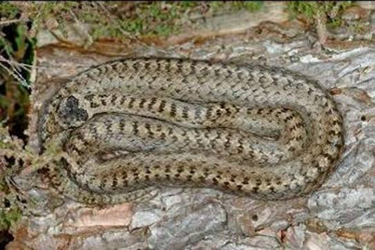 Smooth snake, Coronella austriaca This non-venomous snake is the rarest reptile in Britain and doesn t often