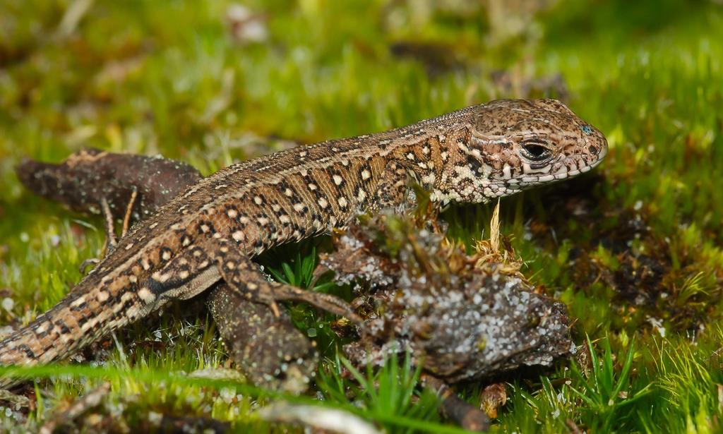 Sand lizard, Lacerta agilis A rare stocky looking lizard with short legs usually