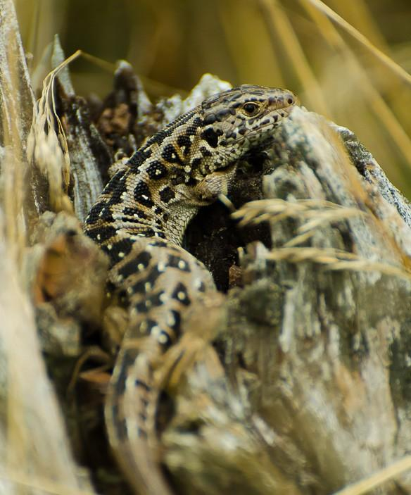 Sand lizards are considerably larger than common lizards and have deeper chests.