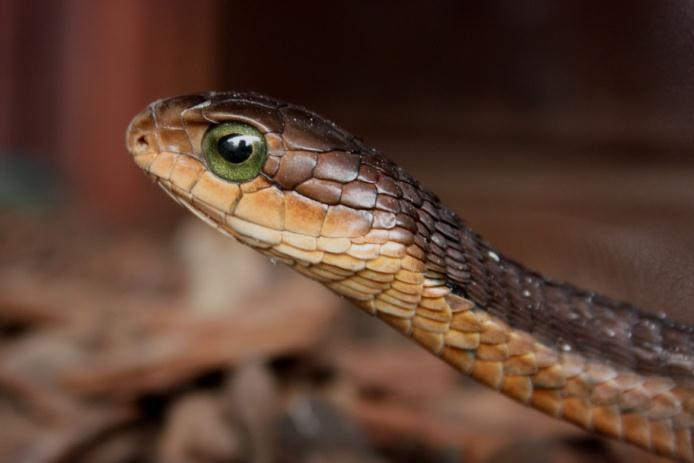 Boomslang Dispholidus typus VERY DANGEROUS Length: