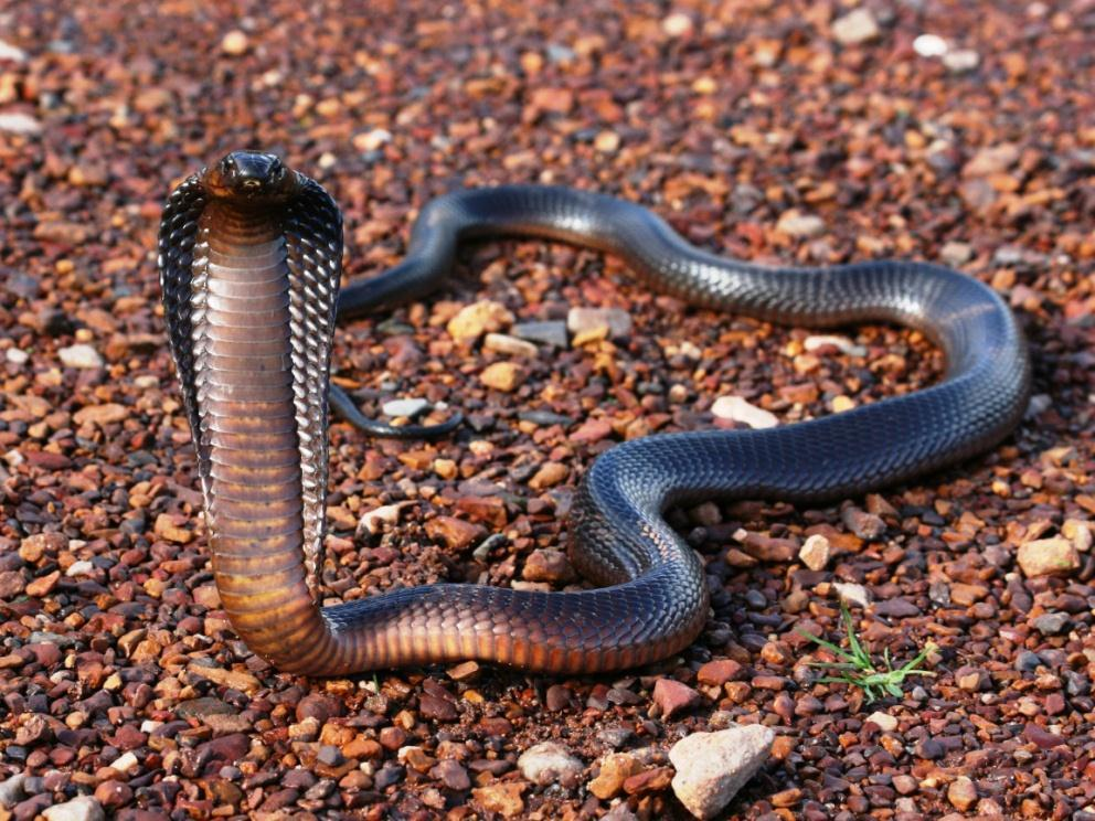 Cape Cobra Naja nivea VERY DANGEROUS Length: Average 1.4m Max 1.