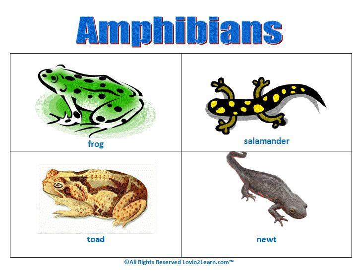 Amphibians Spend part of their lives in water and part on land. Young have gills and breathe underwater.