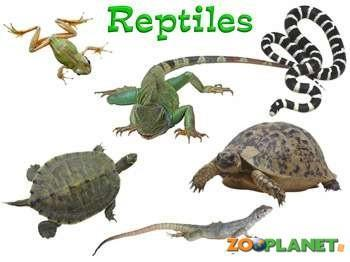 3. Reptiles 4 Have lungs and scales Reproduce by laying eggs Examples: snakes, lizards, turtles, alligators and crocodiles.